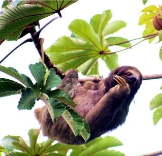 Carlita Sloth